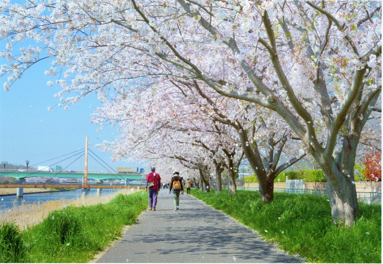 新川千本桜_染井吉野37.jpg